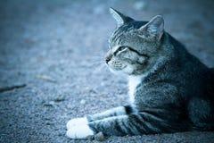Durchdachte graue Katze mit den weißen Tatzen, die aus den Grund und den Blick liegen Stockbild