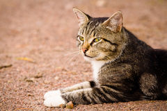 Durchdachte graue Katze mit den weißen Tatzen, die aus den Grund und den Blick liegen Lizenzfreie Stockfotografie