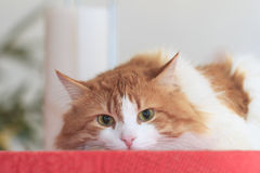 Durchdachte rote Katze auf roter Tischdecke stockfoto