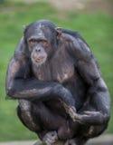 Durchdachter Affe Stockfoto