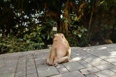 Durchdachter Affe, der im Park, Bäume im Hintergrund sitzt Stockfotos