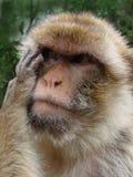 Durchdachter Berberaffe, Macaca sylvanus Lizenzfreies Stockbild