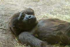 Durchdachter entspannender Gorilla Stockfotografie