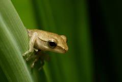 Durchdachter Frosch auf einem Blatt stockfoto