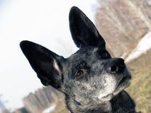 Durchdachter Hund mit verschiedenen Augen Stockbilder