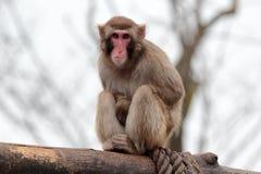 Durchdachter japanischer Macaque, der auf einem Klotz sitzt Lizenzfreie Stockfotografie