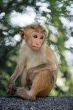 Durchdachter junger Affe Stockbild
