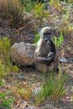 Durchdachter kleiner Affe mit einem ausdrucksvollen Blick Lizenzfreies Stockbild