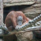 Durchdachter Orang-Utan Stockbilder