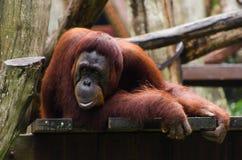 Durchdachter Orang-Utan Lizenzfreie Stockbilder