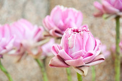 Durchdachter rosafarbener Lotos für Anbetung Buddha Lizenzfreie Stockbilder