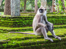 Durchdachter weißer Affe in Polonnaruwa, Sri Lanka Stockfotografie