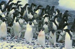 Durcheinander - aufgerüttelte Pinguine Stockfoto