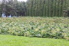Durchgebrannt über Mais stockfotos