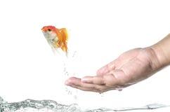Durchgehengoldfisch ein Goldfischherausspringen der Hand lizenzfreie stockbilder