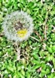 Durchsichtiger Blumenlöwenzahn Stockfoto