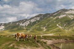 Durchstreifende Kühe Stockfotos