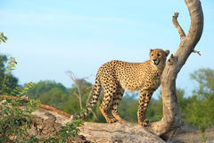 Durchstreifender Gepard Stockfotografie