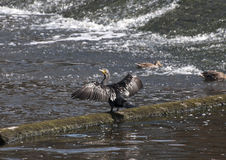 Durham Cormorant. Cormorants resting on the weir in the historic city of Durham between sessions of fishing royalty free stock photography