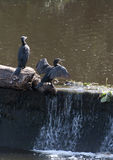 Durham Cormorant. Cormorants resting on the weir in the historic city of Durham between sessions of fishing royalty free stock photo