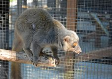 Durham, North Carolina – October, 2015. Eastern Lesser Bamboo Lemur (Hapalemur griseus) Royalty Free Stock Photography
