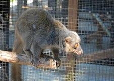 Durham, North Carolina – October, 2015. Eastern Lesser Bamboo Lemur (Hapalemur griseus) Royalty Free Stock Photography