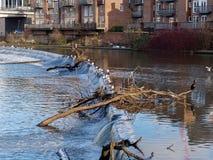DURHAM, PROVINCIE DURHAM/UK - 19 JANUARI: Aalscholver die zich op a bevinden stock foto's