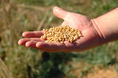 Durham Wheat in Man's Hand Royalty Free Stock Photography