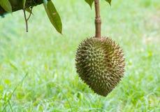 Durian στο δέντρο, βασιλιάς των τροπικών φρούτων Στοκ Φωτογραφία