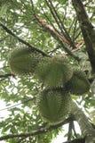 Durian στο δέντρο στοκ εικόνα με δικαίωμα ελεύθερης χρήσης