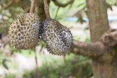 Durian στο δέντρο με τα aphids Στοκ Εικόνα