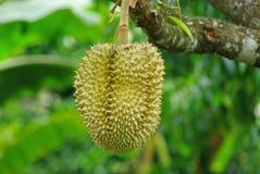 Durian τα καλύτερα φρούτα στον κόσμο Στοκ εικόνα με δικαίωμα ελεύθερης χρήσης