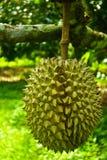 Durian Imagen de archivo libre de regalías