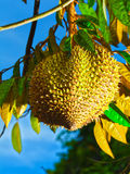 Durian Royalty Free Stock Photo