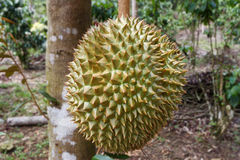 Durian Stockfoto