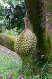 Durian Imagem de Stock Royalty Free