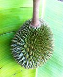 Durian image stock