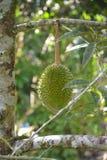 Durian στοκ φωτογραφίες με δικαίωμα ελεύθερης χρήσης