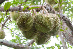 Durian Images stock