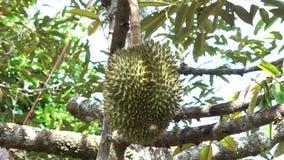 Durian lager videofilmer