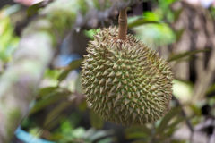 Durian Royaltyfria Bilder