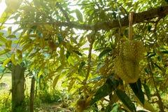 Durian Imagem de Stock