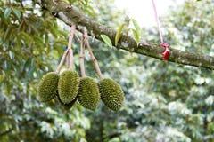 Durian abundante Fotos de Stock Royalty Free
