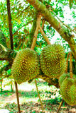 Durian/albero di durian Immagine Stock Libera da Diritti