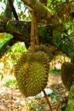 Durian/albero di durian Immagine Stock