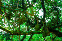 Durian/albero di durian Fotografia Stock Libera da Diritti