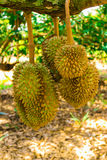 Durian/albero di durian Fotografia Stock