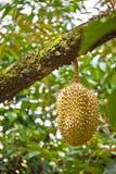 Durian auf Baum Stockfotografie