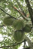 Durian auf Baum Lizenzfreies Stockbild