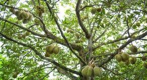 Durian auf Baum im Garten Stockbild